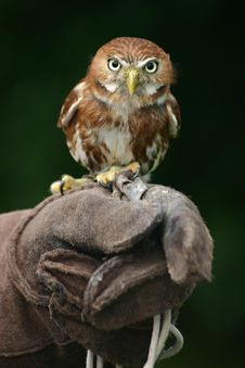 Free Brown And White Owl On Black Gloves Royalty Free Stock Image - 83062456