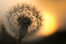 Free Dandelion Flower Stock Images - 83062644