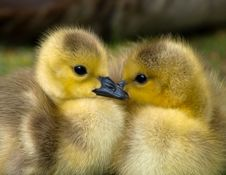 Free 2 Yellow Ducklings Closeup Photography Royalty Free Stock Photography - 83062787