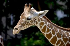 Free Brown Giraffe During Daytime Royalty Free Stock Photos - 83062898