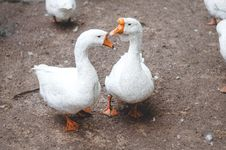 Free Geese On Ground Royalty Free Stock Photo - 83063405