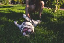 Free White And Brown American Bulldog Playing With Owner Royalty Free Stock Photo - 83063455
