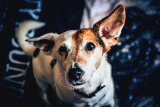 Free White Brown Short Coat Medium Dog Stock Images - 83063484