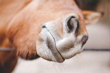 Free Close Up Of Horse Nose Royalty Free Stock Image - 83063486