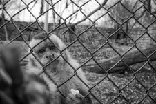 Free Monkey Behind Wire Mesh Fence Stock Images - 83063514
