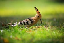Free Selective Focus Photography Of Brown Black And White Long Beak Bird On Green Grass Stock Photography - 83063562