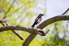 Free Purple And Black Feathered Bird Resting On Beige Wood Branches Stock Images - 83063574