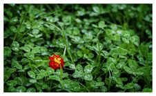 Free Orange And Green Lantana Surrounded By Green Leaves Royalty Free Stock Images - 83063599