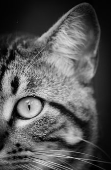 Free Close Photography And Grayscale Photography Of Tabby Cat Stock Images - 83063604