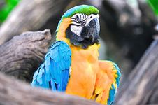 Free Yellow And Blue Parrot Royalty Free Stock Images - 83063849