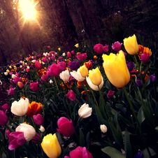 Free Yellow And White Tulips Field Royalty Free Stock Photos - 83064008