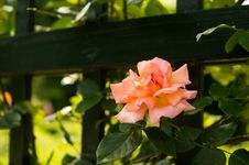 Free Pink Rose In Garden Royalty Free Stock Photos - 83064358