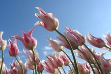 Free Tulips Against Blue Skies Stock Photos - 83064383