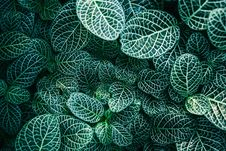 Free Close Up Photo Of White And Green Color Leaves Royalty Free Stock Photography - 83064397