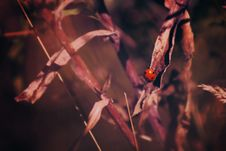 Free Ladybug On Grasses Royalty Free Stock Image - 83064476