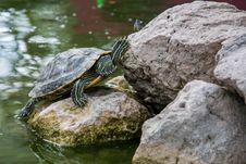 Free Red-eared Slider Royalty Free Stock Photography - 83064517