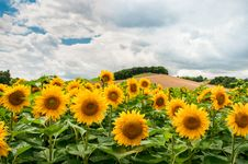 Free Field Of Sunflowers Stock Photography - 83064632