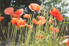 Free Poppy Flowers In Field Stock Photo - 83064660