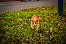 Free White And Orange Cat Walking On Green Grass During Dayime Royalty Free Stock Photography - 83064687
