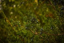 Free Pine Tree Branch Royalty Free Stock Photos - 83064688