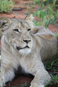 Free Gray Lioness Stock Photo - 83064720