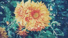 Free Orange Dahlia Blossom Royalty Free Stock Image - 83064776