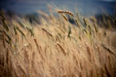 Free Golden Wheat In Field Stock Image - 83064831