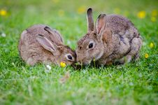 Free 2 Rabbits Eating Grass At Daytime Royalty Free Stock Photography - 83064867
