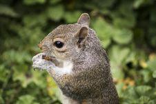 Free Squirrel Portrait Stock Image - 83064891