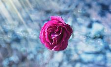 Free Rose In Ice Royalty Free Stock Images - 83064909