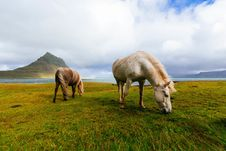 Free Horses In Field, Iceland Royalty Free Stock Images - 83064929