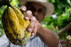 Free Man Picking Yellow Cocoa Fruit Stock Photos - 83065083