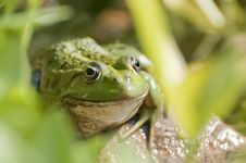 Free Frog Portrait Royalty Free Stock Photos - 83065098