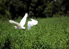 Free Egrets Above Wetland Royalty Free Stock Images - 83065219