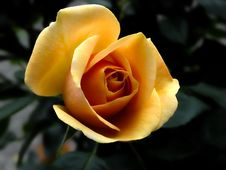 Free Yellow Rose Close Up Photography Royalty Free Stock Photo - 83065285