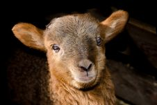 Free Brown Sheep Close Up Photography Stock Images - 83065374