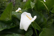 Free Calla Flower Royalty Free Stock Photos - 83065438