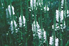 Free White Flowers In Bloom Royalty Free Stock Photo - 83065545