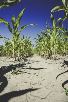 Free Corn Plantation Under Blue Sky During Daytime Stock Photo - 83065590