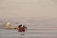 Free Black And White Short Coated Dog With Twig In It S Mouth Floating On Water Stock Photos - 83065813