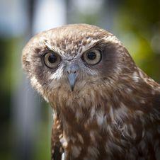 Free Brown White Owl Stock Image - 83065821
