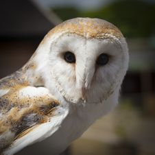 Free White And Brown Owl Animal Stock Photography - 83065822