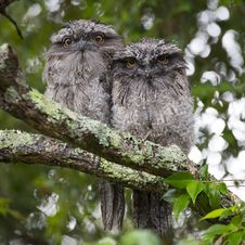 Free 2 Owls On Tree Branch During Daytime Stock Images - 83065824