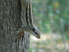 Free Brown And Gray Squirrel On Brown Tree Trunk Stock Image - 83065841