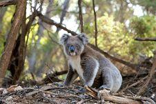 Free Gray And White Koala Bear Near Trees Stock Photography - 83065852