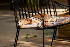 Free Photo Of A White Grey And Brown Short Coated Dog Laying On A Black Metal Frame Multi-colored Padded Armchair Royalty Free Stock Photo - 83065955