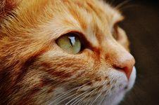 Free Orange White Cat Stock Photography - 83066152