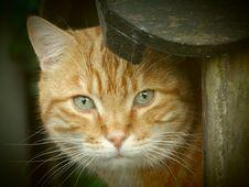 Free Orange Tabby Cat Stock Photography - 83066382