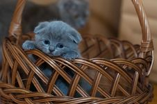Free Russian Blue Kitten On Brown Woven Basket Royalty Free Stock Image - 83066726
