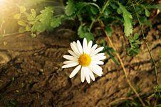 Free White Yellow Daisy Flower Royalty Free Stock Photos - 83066938